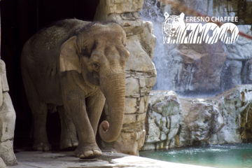 Kara the Elephant (courtesy Fresno Chaffee Zoo)