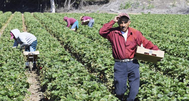 Farm workers in California field