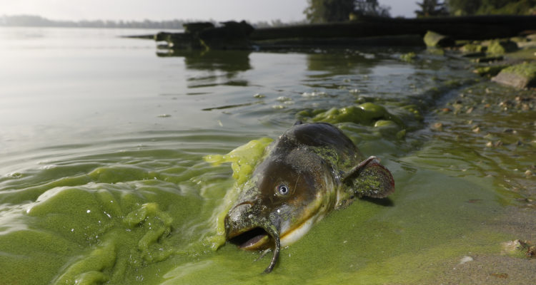 Photo of a dead catfish on shore of algae filled waters in North Toledo, Ohio.