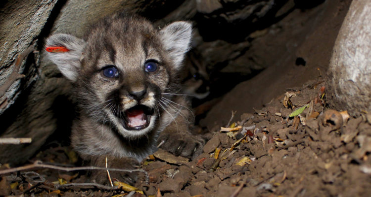 Photo of mountain lion kittens born in Southern California