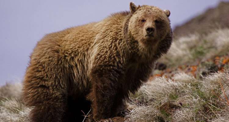 Photo of one of the 700 grizzlies in the Yellowstone region