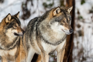 Photo of two gray wolves in snow