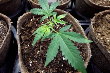 Photo of a marijuana plant