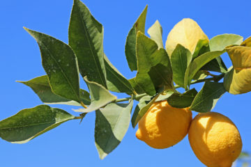 A photo of lemons on a tree branch along Fresno County's Blossom Trail