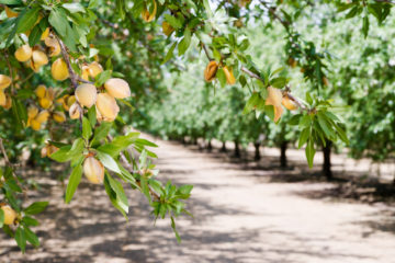 Photo of a California almond orchard