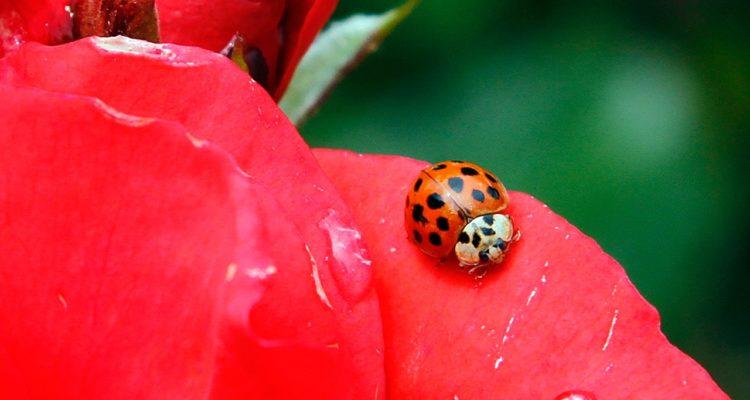 Photo of ladybug resting on a rose