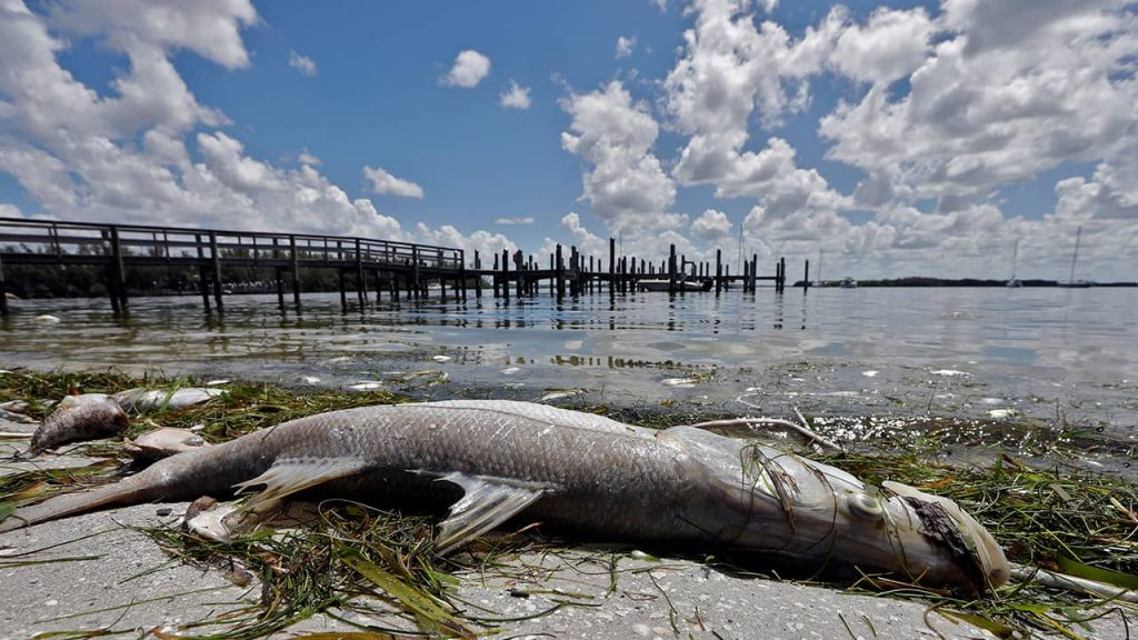 Photo of a dead snook in Florida