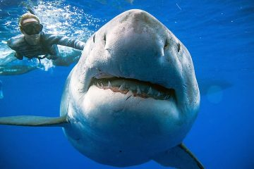 Photo of a shark researcher and advocate, swimming with a large great white shark