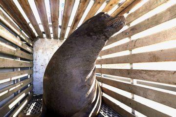 Photo of a California sea lion