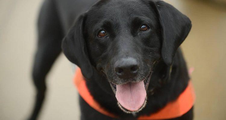 Photo of Howard, a TSA explosives-detection dog