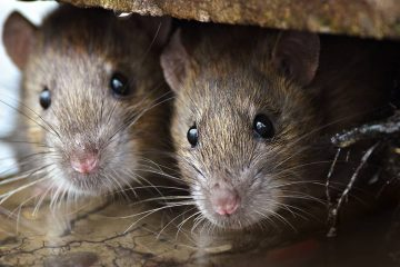 Photo of 2 rats