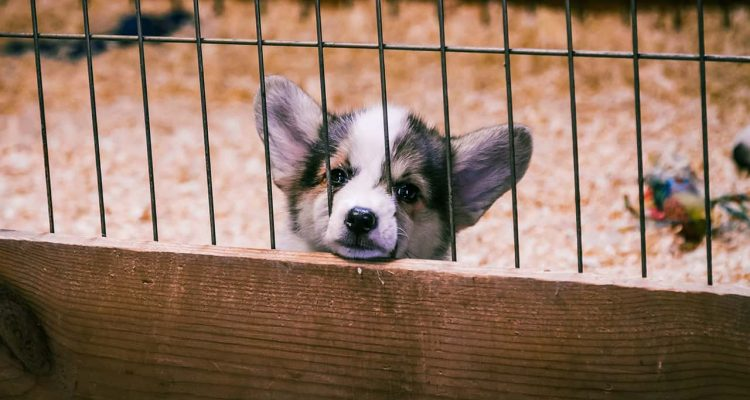 Photo of a puppy in a puppy mill cage
