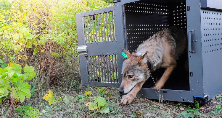 Photo of a female gray wolf emerging from her cage