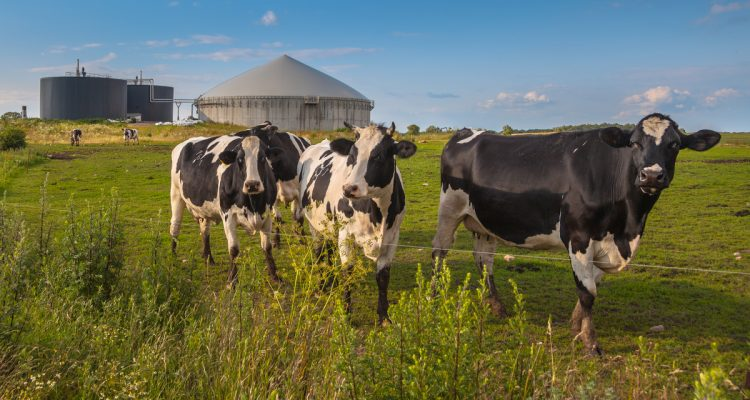 Photo of 3 cows in a field with a bio gas installation
