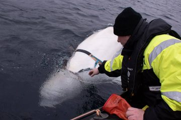 Photo of fisherman petting a beluga whale