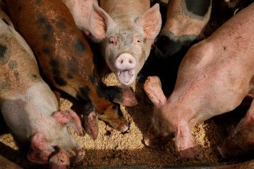 Photo of pigs eating from a trough