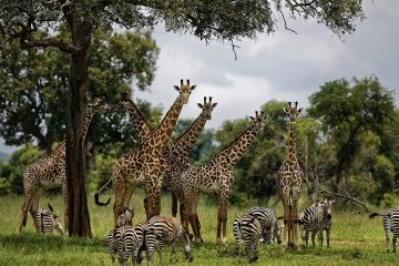 Photo of giraffes and zebras