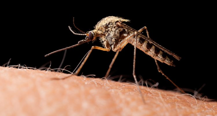 West Nile virus mosquito