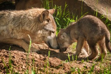Photo of a wolf and her pup