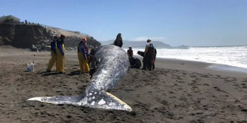 Photo of gray whale after being killed by a ship strike