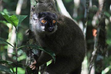 Photo of a lemur