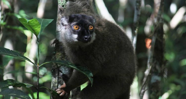 Photo of a lemur