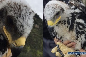Two photos of golden eagle chicks