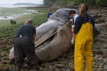 Photo of a dead whale and volunteers in Port Hadlock, Wa.