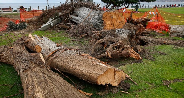 Photo of a Monterey cypress tree that was toppled