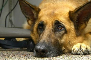 Photo of Lexy, a therapy dog at Fort Bragg, N.C.