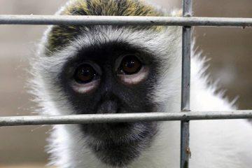 Photo of Bella the vervet monkey