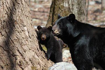 Photo of black bear and cub