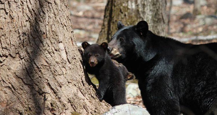 Photo of black bear and cub