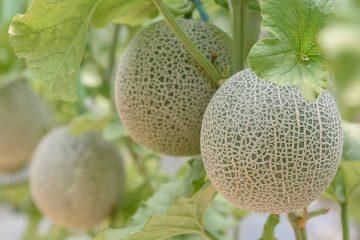 Photo of cantaloupes