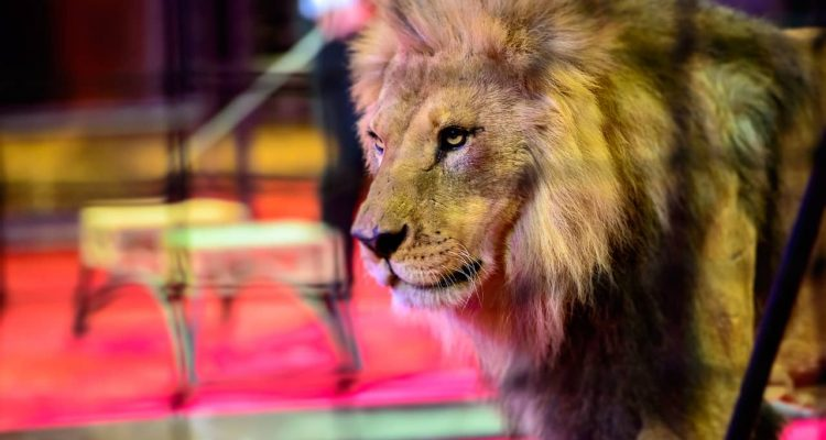 Photo of a circus lion