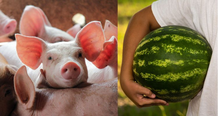 piglets and watermelon