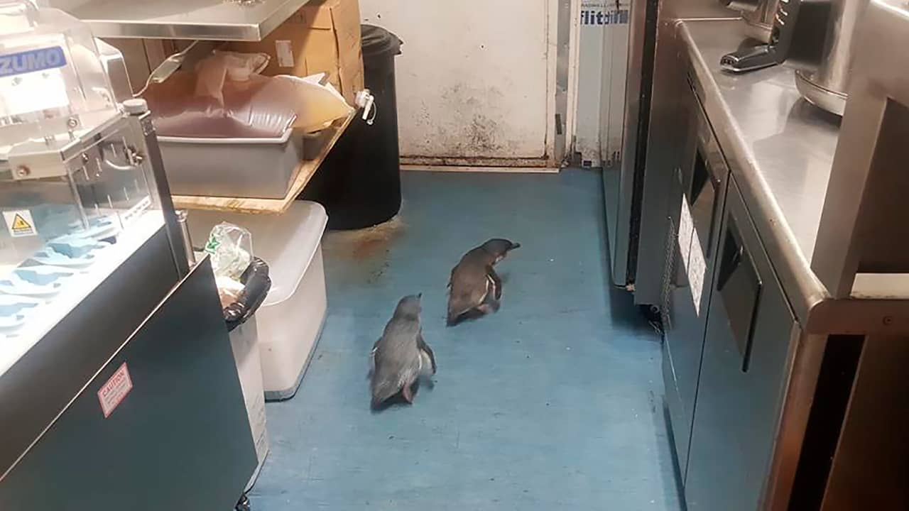 Photo of penguins making their way to a sushi store