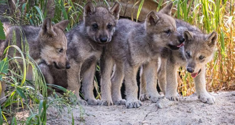 Photo of gray wolf pups at the Oakland Zoo