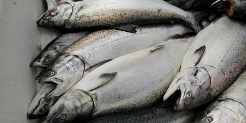 Photo of chinook salmon