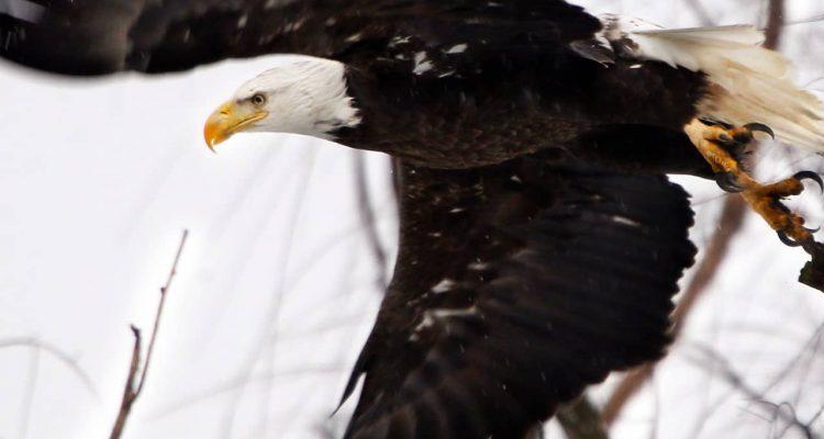 Photo of a bald eagle taking flight