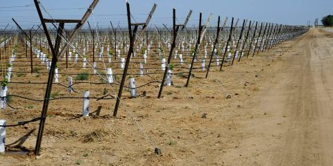 Photo of vineyard in Kern County