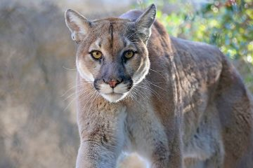 Photo of a mountain lion
