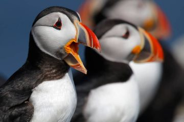 Photo of Atlantic puffins near Eastern Egg Rock