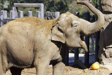 Photo of Little Mac, the Asian elephant