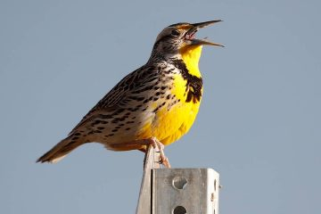 Photo of a western meadowlark