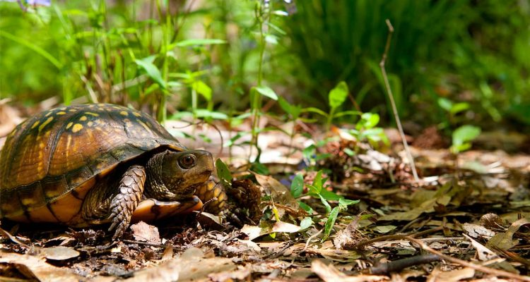 Photo of a box turtle
