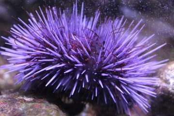 Photo of purple sea urchin