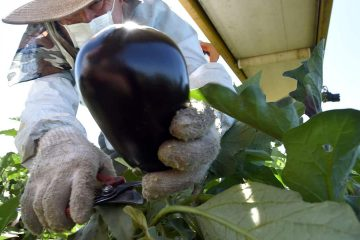 Photo of Rafael Santos picking eggplants