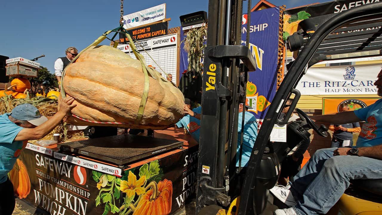 Photo of a massive pumpkin lowered on a scale with a forklift