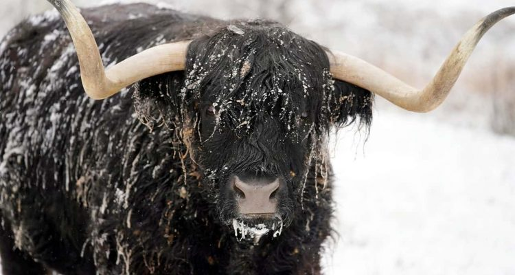 Photo of Coal, a highland steer, covered in snow